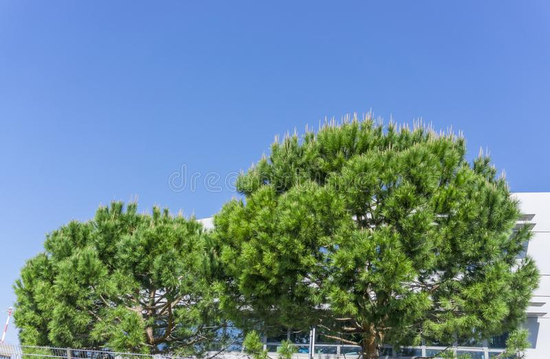 The two half round form of Italian stone pine tree under the deep blue sky royalty free stock photo