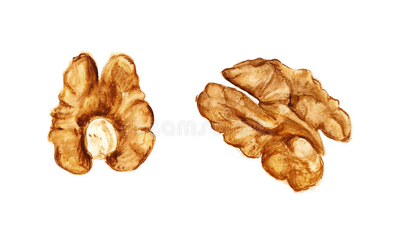 Two halves of walnut. Watercolor image of two halves of walnut on white background stock illustration