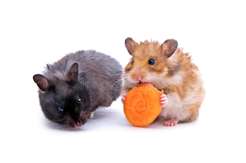 Two hamsters. Close up shot of black and red humsters isolated on white stock photography