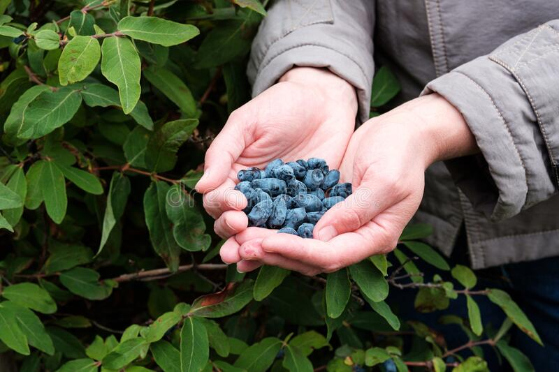 In two hands, a black honeysuckle berry is collected royalty free stock image