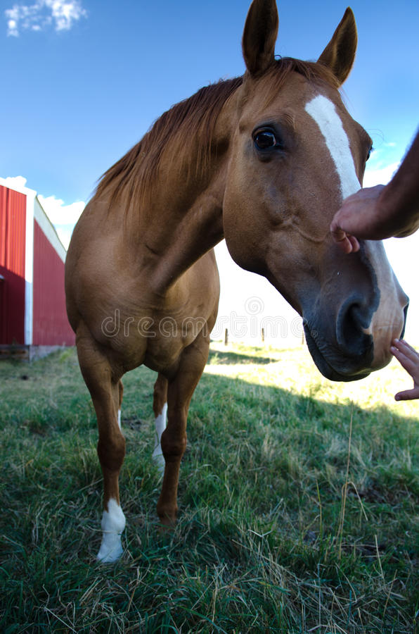 Two hands petting horses muzzle royalty free stock images