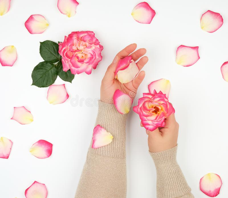 two hands of a young girl with smooth skin and pink rose petals on a white background, top view royalty free stock photo
