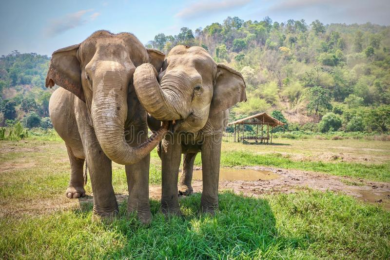 Two happy Asian elephants being affectionate with each other in Thailand. stock photography