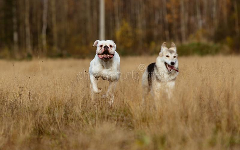 Dogs running on lawn royalty free stock images
