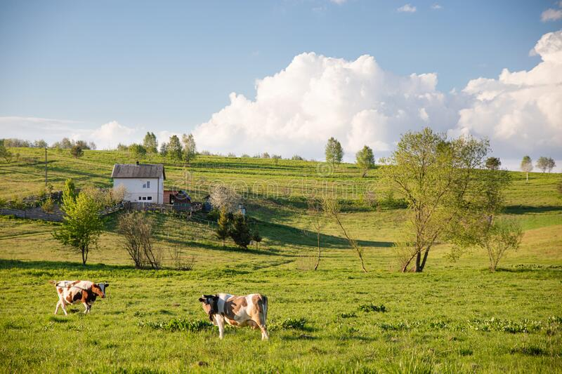 Two happy brown cows eating grass on green summer lawn in countryside. With beautiful blue sky and fluffy clouds background stock photo