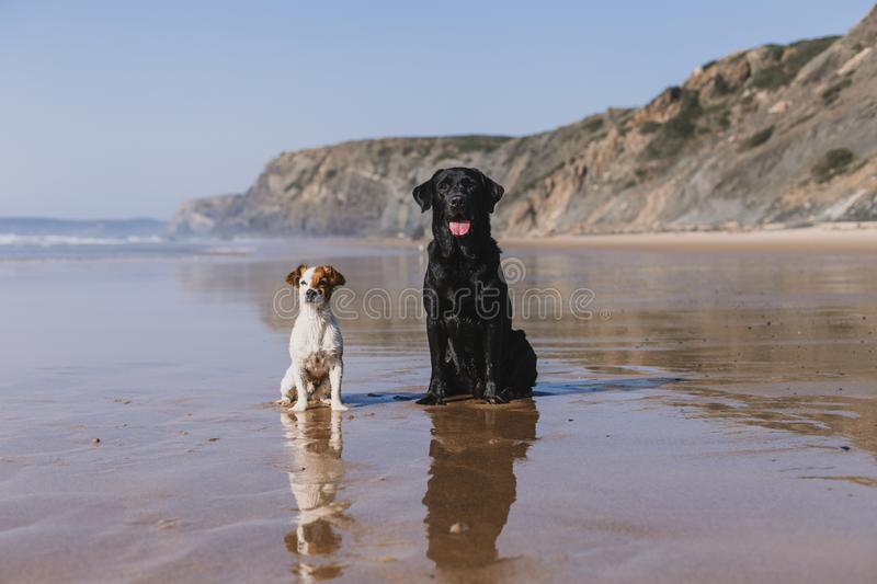 two happy dogs having fun at the beach. Sitting on the sand with reflection on the water at sunset. Cute small dog and black royalty free stock image