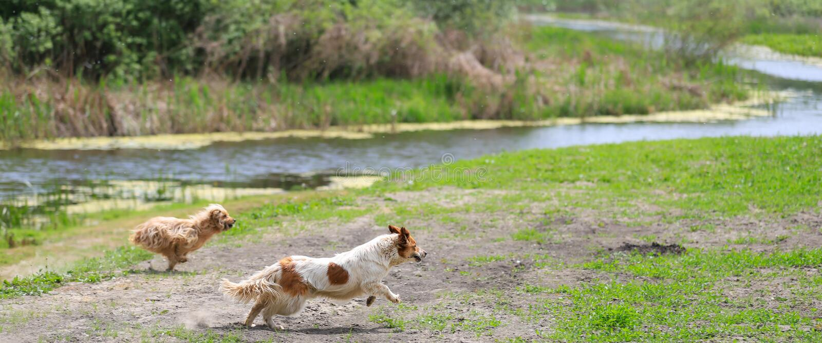 Two happy dogs playing on field with canal in background. Beautifull dogs play on field with canal in background, chasing a ball stock image