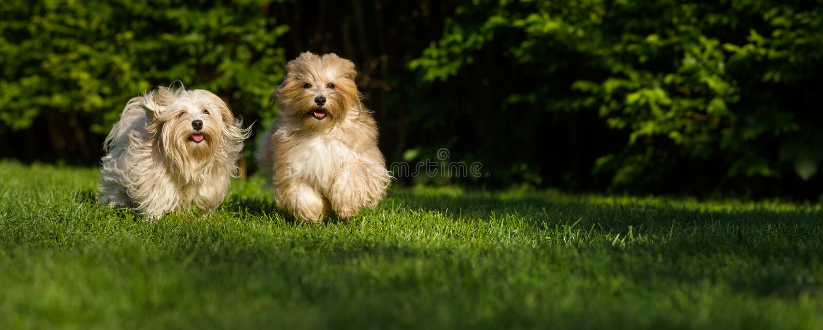 Two happy havanese dog is running towards the camera in the grass. Wide banner format stock image