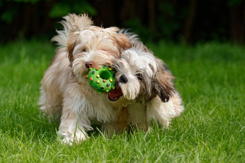 Two havanese puppies play together in the grass. Two havanese puppies play together with a green toy in the grass royalty free stock image