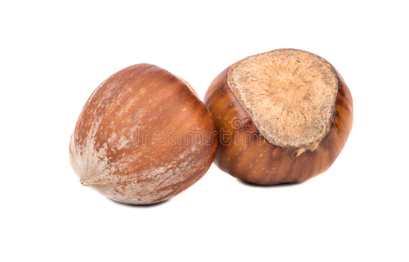 Two hazelnuts in shell. Two fresh hazelnuts in the shell on a white background stock images