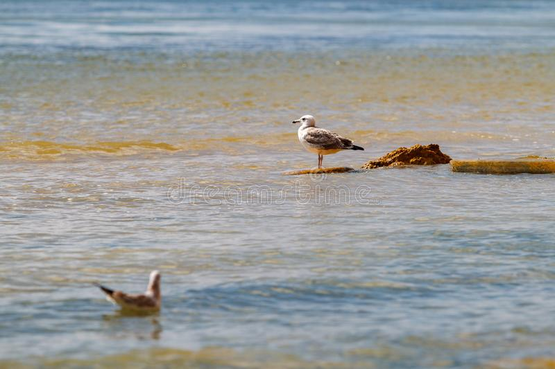 Two headed gull. One standing on stones second floats on sea water. royalty free stock photo