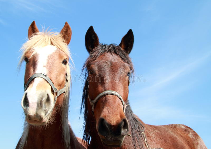 Two heads of a horses. Two heads and ridge of a brown horses royalty free stock photo