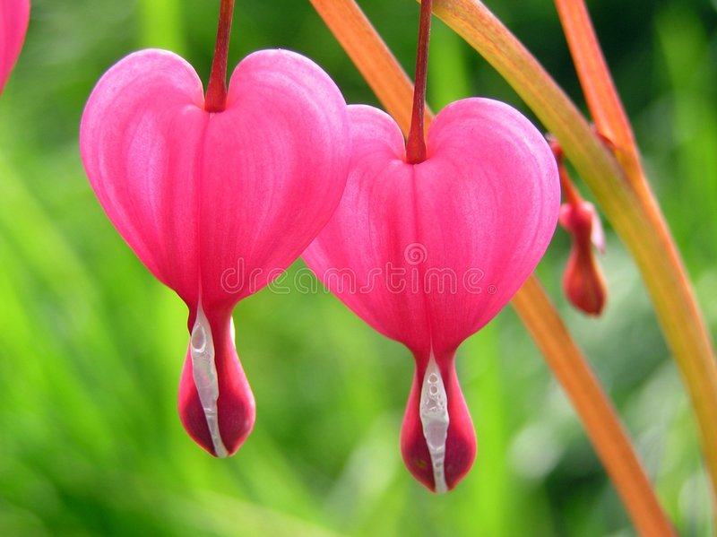 Download Two Hearts stock photo. Image of bedding, flowers, bush - 117114