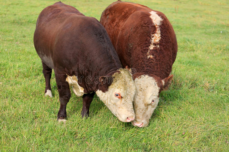 Two Hereford Bulls Eating Grass on Field stock photos