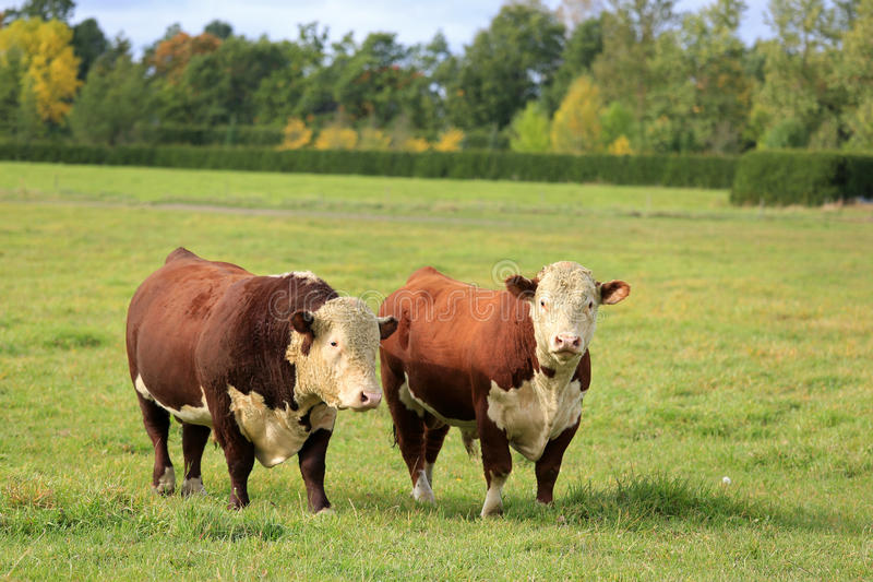 Two Hereford Bulls on Green Autumn Field. Two large Hereford bulls on a green grass field on a clear day of autumn stock image