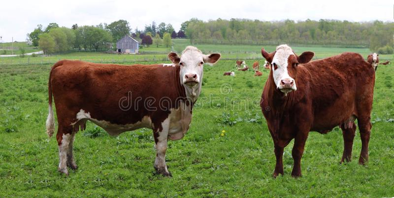 Two rust with white face cows in the pasture with other cows behind stock image
