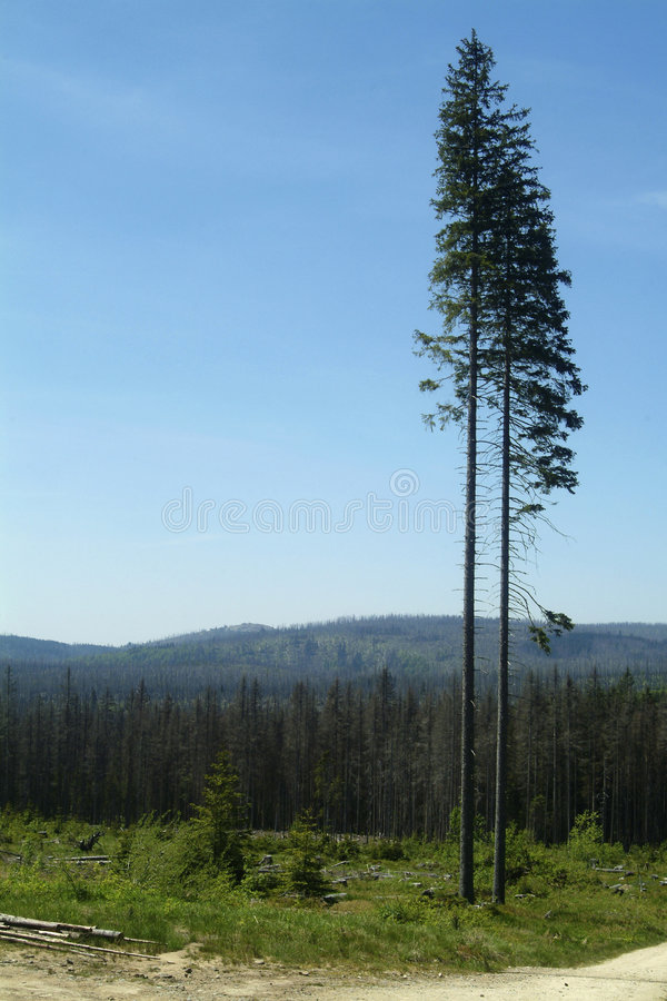 Two high spruce stock image