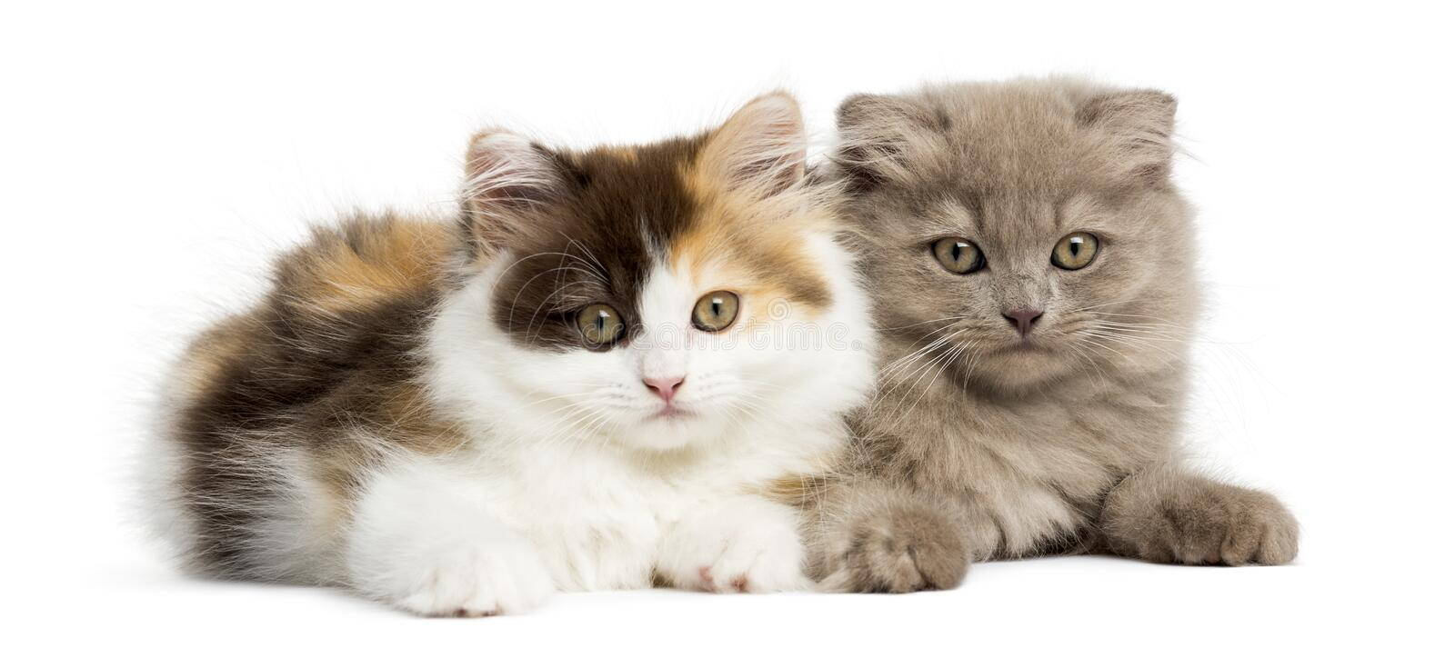 Two Highland fold kittens playing together, isolated stock photos