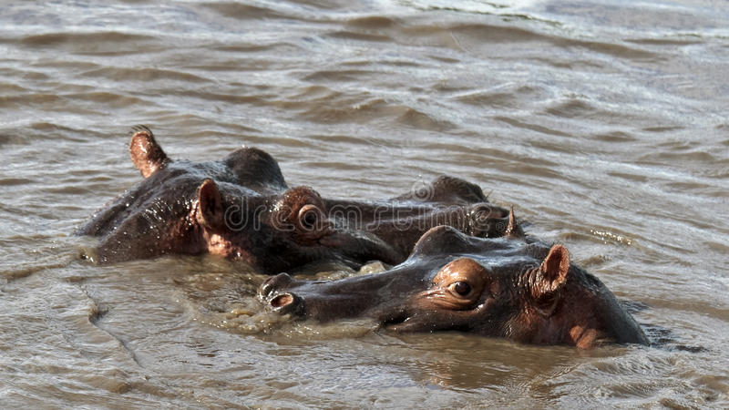 Download Two Hippos Are In The River Stock Photo - Image: 14690306