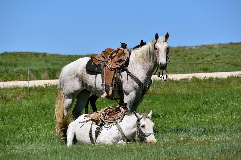 Two hobbled horse in a roundup and branding. Two hobbled and saddled horses during a roundup and branding with one horse laying down royalty free stock photography