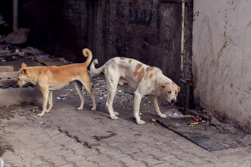 Two homeless dogs on the street searching for food stock image