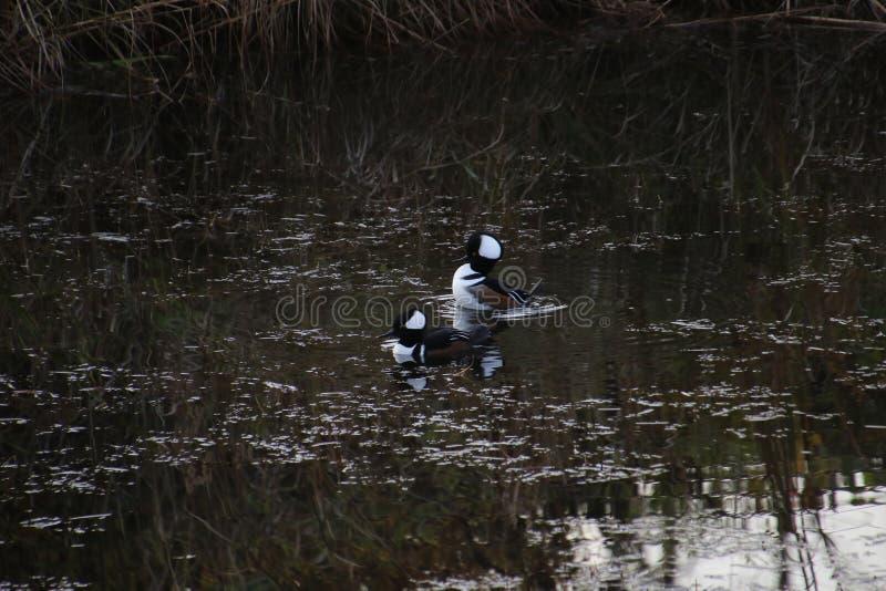 Two hooded merganser ducks stock image