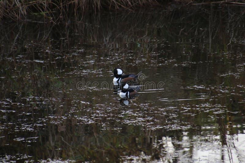 Two hooded merganser ducks stock photo