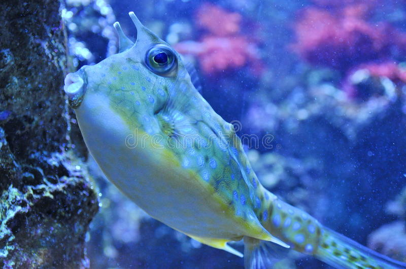 Download Two Horned Cow fish stock photo. Image of deep, langhorne - 28820718
