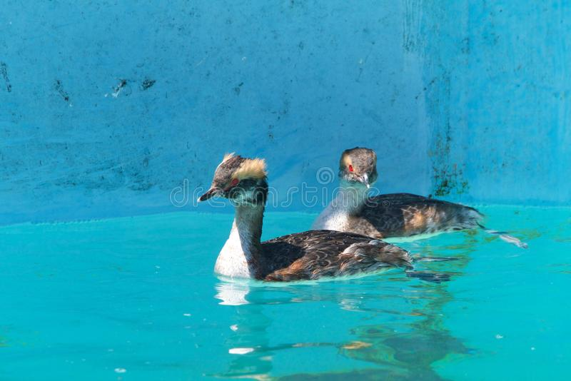 Horned grebes swimming in clear blue water. Two horned grebes swimming in clear water. The species got its name from large patches of yellowish feathers located royalty free stock images