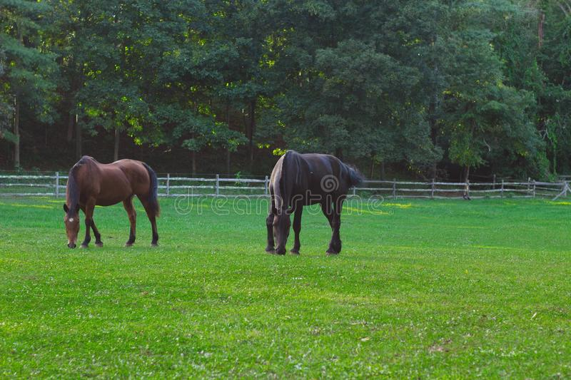 Two horse eating grass with forest trees in the background royalty free stock image
