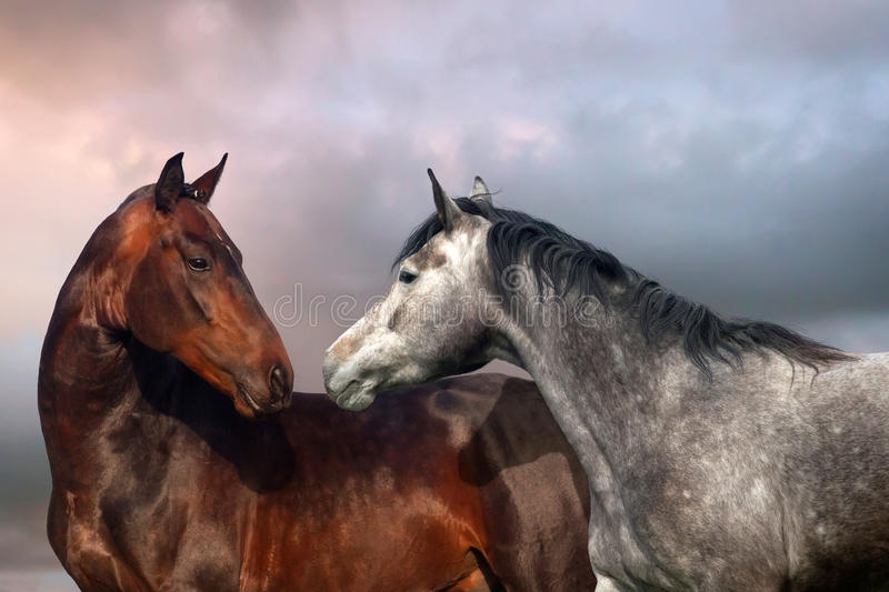 Two horse portrait. Beautiful black and grey colour horse couple in love stock photography