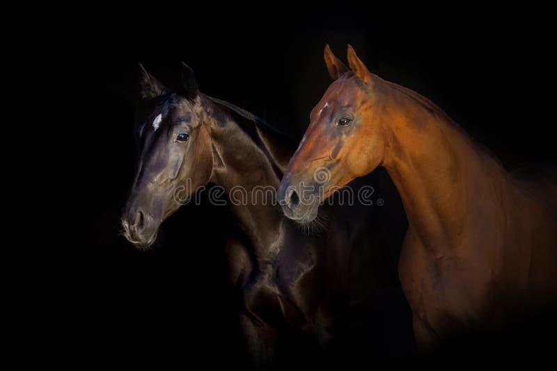 Two horse portrait on black background stock photos