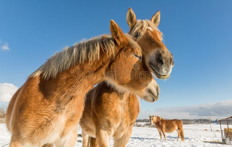 Two horse portrait close up in love, Horse love, Bohemian-Moravian Belgian horse in sunny day. Czech Republic stock images