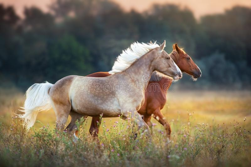 Two horse run on pasture. Palominoand chestnut horse run fast at sunrise meadow stock image