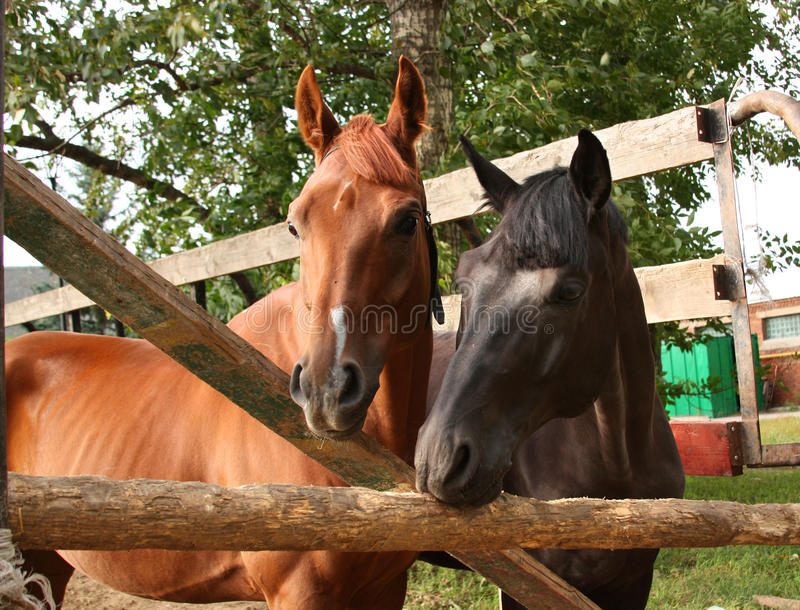 Download Two horses stock image. Image of animals, mammal, horses - 11413017