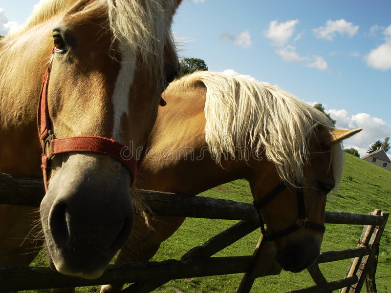 Download Two horses stock photo. Image of mammal, country, farming - 18184