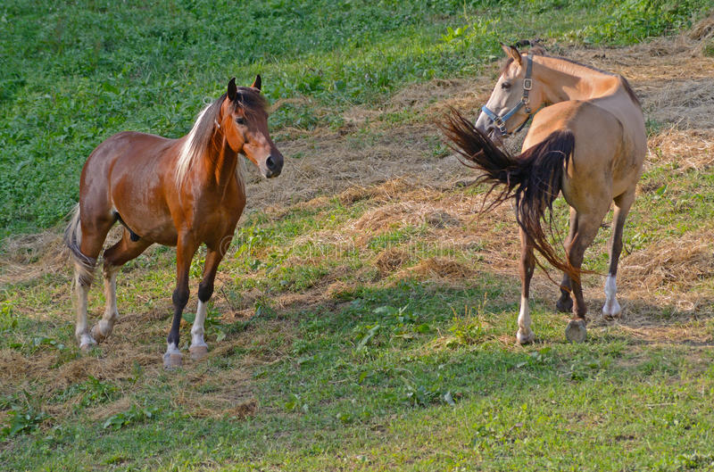 Two horses communicate with each other. royalty free stock photo
