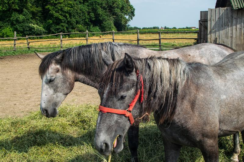 Horses in a coral grazing eating grass feeding 05 stock images