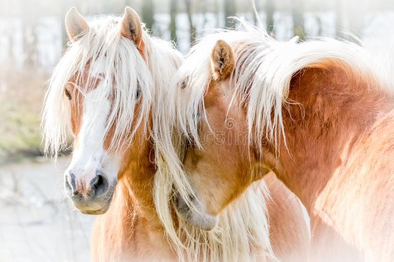 Two horses cuddling. Two brown horses cuddling together stock photography