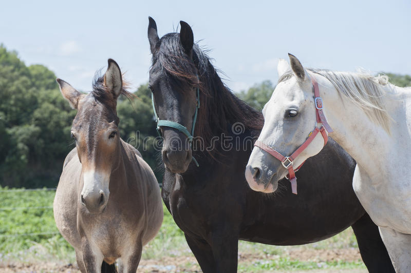 Two horses and a donkey. stock photos