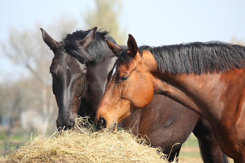Two horses eating hay. Black and chestnut horses eating hay stock image