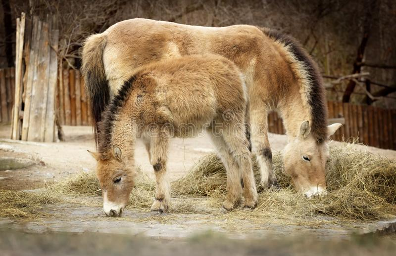 Two horses are eating hay, Mongolian wild horse royalty free stock photo