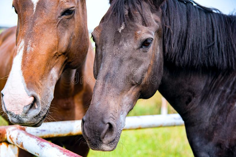 Two horses embracing in friendship . royalty free stock photo