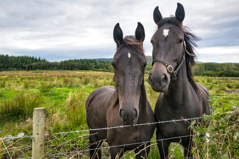 Two Horses at a Fence stock photo