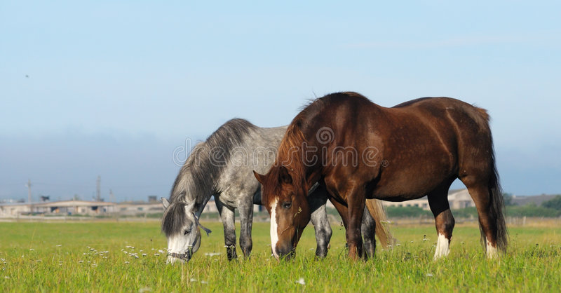 Two Horses In Field Royalty Free Stock Photos