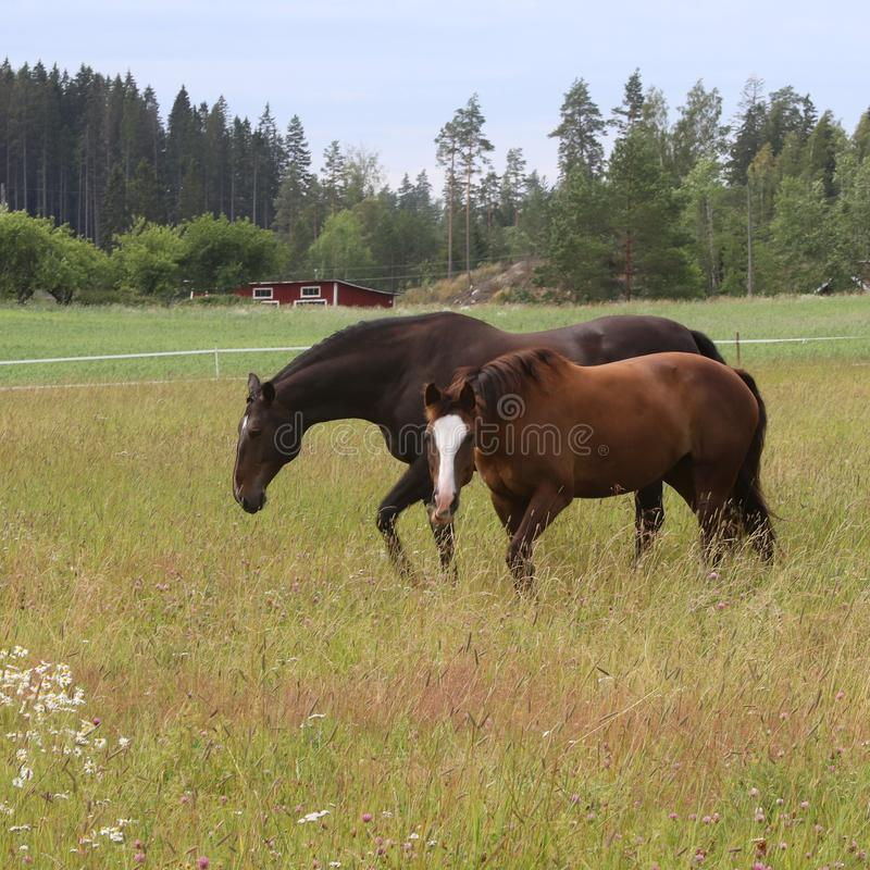 Two horses on the field enjoying the summer royalty free stock photography
