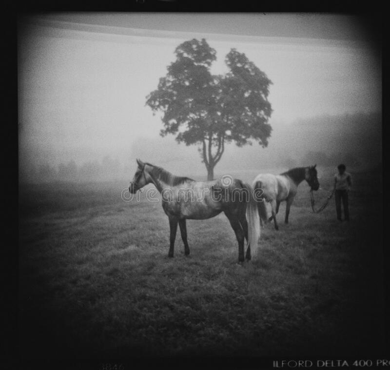 Two horses in fog stock photo