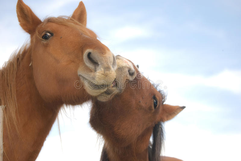 Two horses in a friendship moment. In a field of Navarra mountains two horse have a moment of tender friendship royalty free stock photos