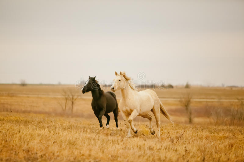 Two horses galloping. Side by side in a field in Kansas