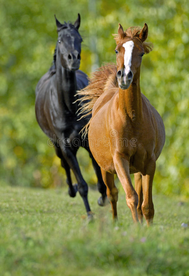 Two Horses galloping royalty free stock image